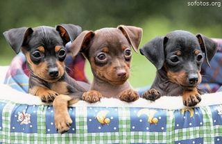 Pinscher-miniatura_large